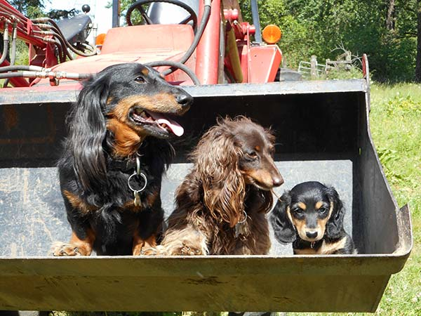 Three Dachshunds and a Front End Loader